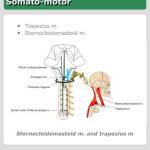 iCranialNerves - Accessory Nerve